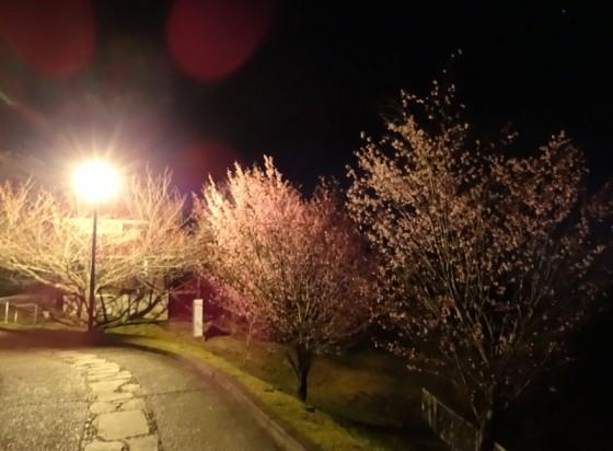 Cherry blossom in the night scape.